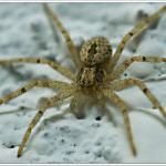 house spider pictures , 10 Brown House Spider In Spider Category
