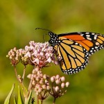 how a monarch butterfly sucking nectar from flowers , 7 What Does Monarch Butterfly Eat In Butterfly Category