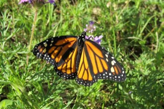 How Monarch Butterflies Eat , 7 What Does Monarch Butterfly Eat In Butterfly Category