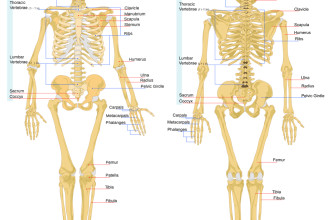 Human Anatomy Bones , 6 Human Anatomy Skeleton Pictures In Skeleton Category