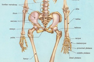 Skeleton , 6 Human Anatomy Skeleton Pictures : human anatomy skeleton