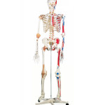 human anatomy skeleton model , 6 Human Anatomy Skeleton Pictures In Skeleton Category