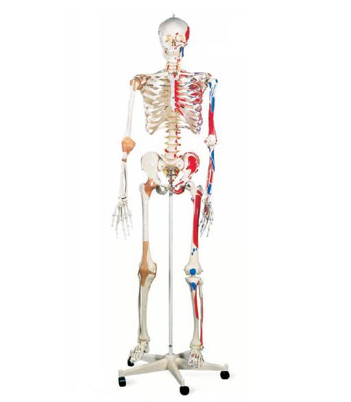 Skeleton , 6 Human Anatomy Skeleton Pictures : Human Anatomy Skeleton Model