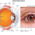 human eye graphics , 6 Human Eyes Anatomy Worksheet In Organ Category