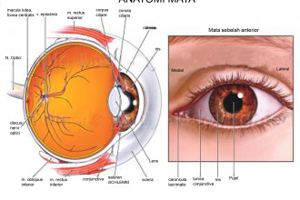 Human Eye Graphics , 6 Human Eyes Anatomy Worksheet In Organ Category