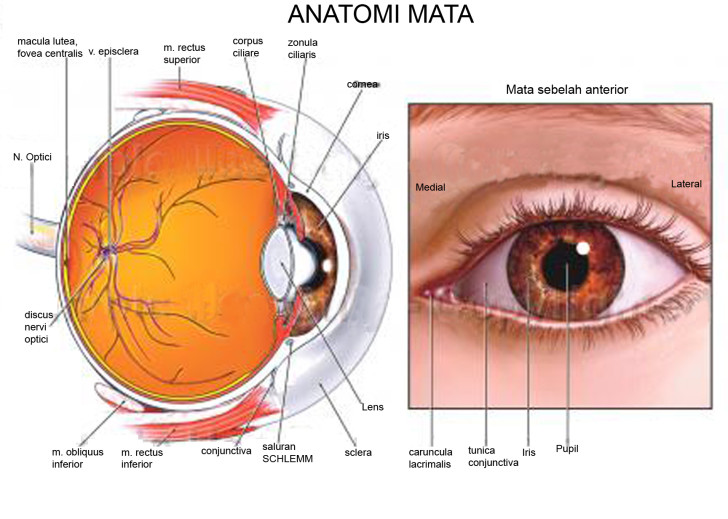 Organ , 6 Human Eyes Anatomy Worksheet : Human Eye Graphics