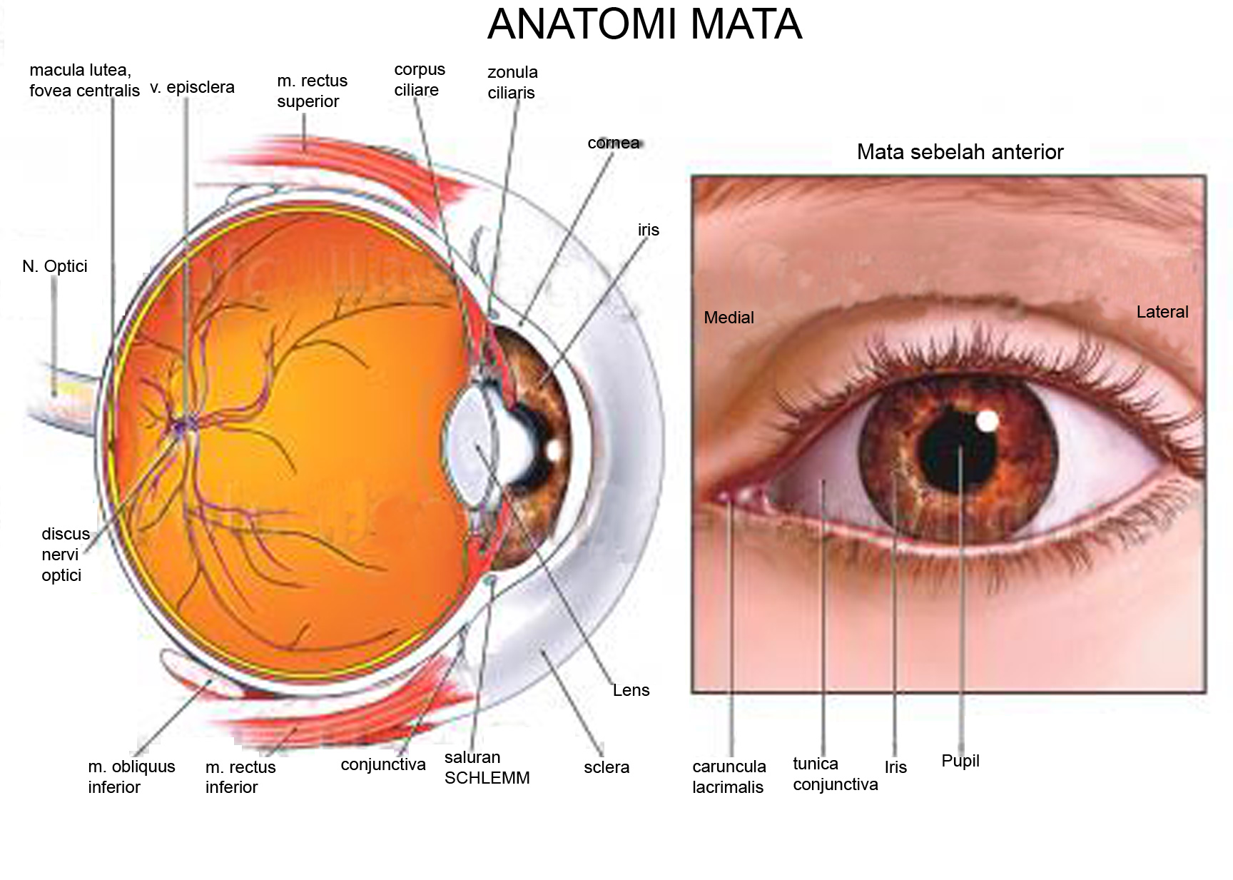 Human Eye Graphics 6 Human Eyes Anatomy Worksheet Biological