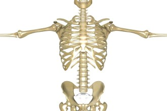 human skeleton 3d pictures in Butterfly