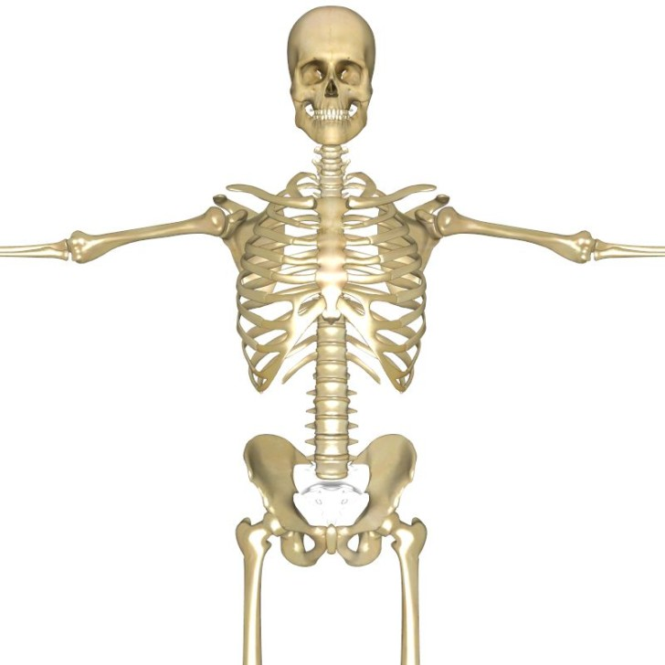Skeleton , 3 Human Skeleton 3d : Human Skeleton 3d Pictures