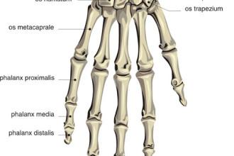human skeleton hand labels in
