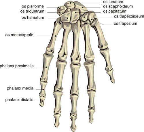 human skeleton hand labels