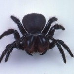 Red headed Mouse Spider , 5 Mouse Spider Facts In Spider Category