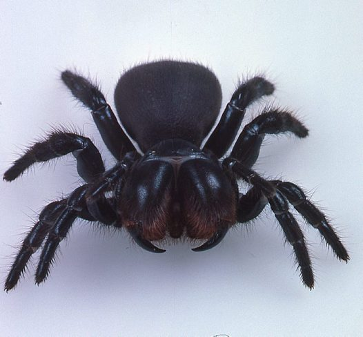 Spider , 5 Mouse Spider Facts : Red Headed Mouse Spider