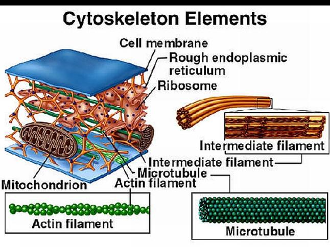 Cell , 3 Cytoskeleton In Animal Cell : ... Animal Cell Http Alexandredossantosantunes Com Up Cytoskeleton Animal
