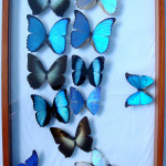 insectarium of Blue Morpho Butterfly , 7 Blue Morpho Butterfly Specimen In Butterfly Category
