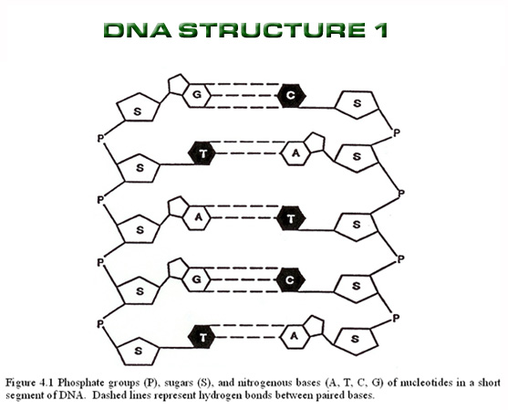 introduction dna structure dna 5 dna structure worksheet biological science picture. Black Bedroom Furniture Sets. Home Design Ideas