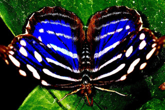 Iridescent Blue Butterfly Photos , 6 Iridescent Blue Butterfly Photos In Butterfly Category