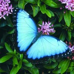 iridescent blue morpho butterfly , 6 Iridescent Blue Butterfly Photos In Butterfly Category