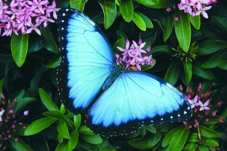 iridescent blue morpho butterfly in Plants