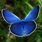 karner blue butterfly facts pic 1 , 5 Karner Blue Butterfly Facts In Butterfly Category