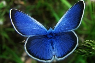 Butterfly , 5 Karner Blue Butterfly Facts : karner blue butterfly facts pic 1