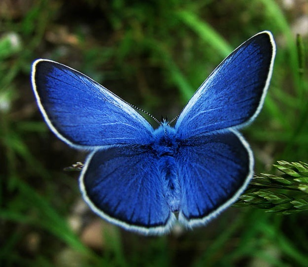 karner blue butterfly facts pic 1