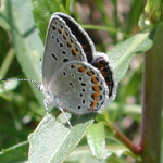 karner blue butterfly facts pic 2 , 5 Karner Blue Butterfly Facts In Butterfly Category