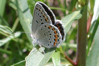 karner blue butterfly facts pic 2 in Spider