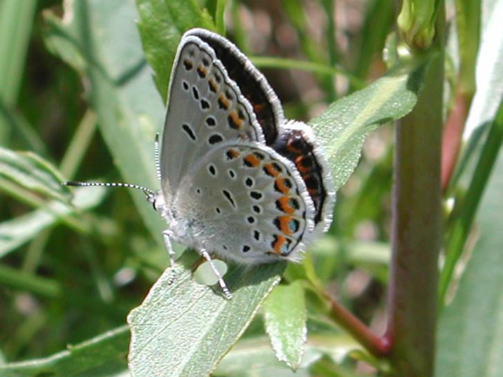 Butterfly , 5 Karner Blue Butterfly Facts : Karner Blue Butterfly Facts Pic 2