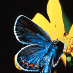 karner blue butterfly facts pic 3 , 5 Karner Blue Butterfly Facts In Butterfly Category