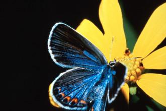Karner Blue Butterfly Facts Pic 3 , 5 Karner Blue Butterfly Facts In Butterfly Category