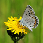karner blue butterfly facts pic 4 , 5 Karner Blue Butterfly Facts In Butterfly Category