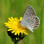 karner blue butterfly facts pic 4 , 5 Karner Blue Butterfly Facts In Butterfly Category