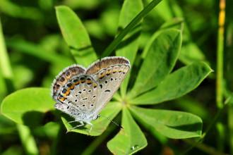 Karner Blue Butterfly Facts Pic 5 , 5 Karner Blue Butterfly Facts In Butterfly Category