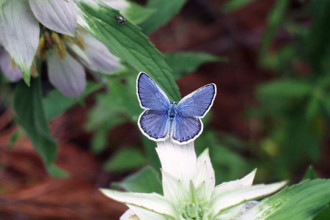 Karner Blue Butterfly Pictures , 6 Blue Karner Butterfly Pictures In Butterfly Category