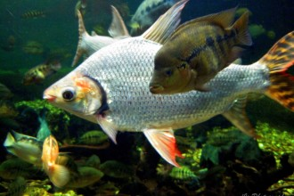 Kind Of Fish In The Amazon River , 6 Amazon River Fish In pisces Category