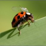 lady bug eats , 8 Lady Bugs Eating Photos In Bug Category