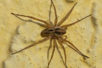 large spider florida in Brain