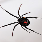latrodectus hesperus western black widow spider , 5 Black Widow Spider Fact In Spider Category