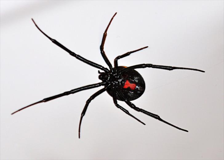 Spider , 5 Black Widow Spider Fact : Latrodectus Hesperus Western Black Widow Spider