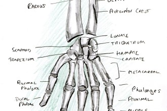 Learning A Human Skeleton Hand , 4 Human Skeleton Hand Diagrams In Skeleton Category
