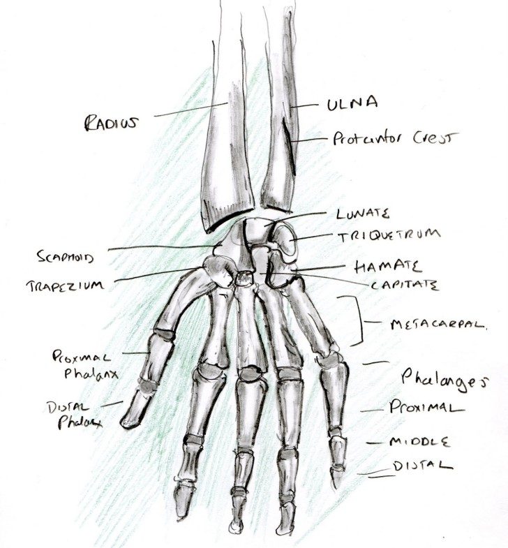 Skeleton , 4 Human Skeleton Hand Diagrams : Learning A Human Skeleton Hand