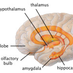 left side of the thalamus hippocampu , 4 Part Of Brain That Contains Thalamus In Brain Category