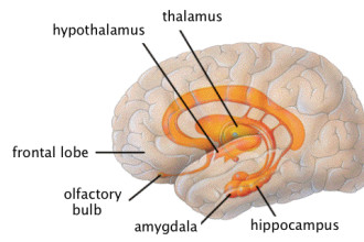 left side of the thalamus hippocampu in Birds