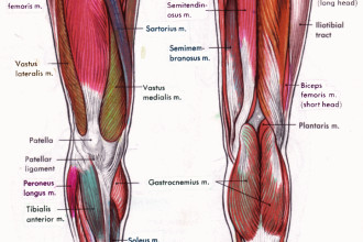 Leg Muscles , 7 Pictures Muscles Back Of Thigh In Muscles Category