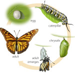 life cycle of a monarch butterfly , 4 Life Cycle Of A Monarch Butterfly In Butterfly Category