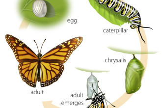 life cycle of a monarch butterfly in Laboratory
