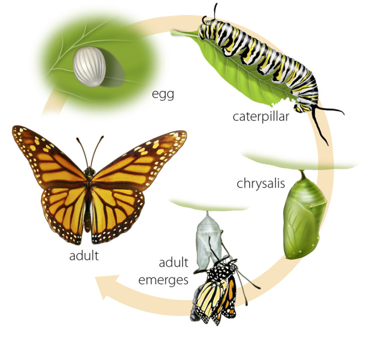 Butterfly , 4 Life Cycle Of A Monarch Butterfly : Life Cycle Of A Monarch Butterfly