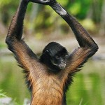light brown spider monkey , 7 Brown Spider Monkey In Animal Category