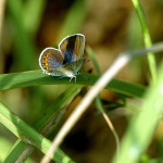 little karner blue butterfly , 6 Blue Karner Butterfly Pictures In Butterfly Category